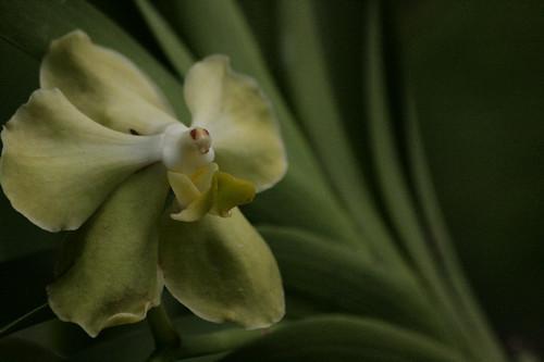 Subtle Orchid