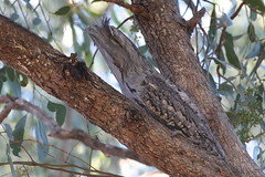 Frogmouth. Tawny (CampaspeBirdo) Tags: nature nocturnal x daytime 108 tawny roost australianbirds frogmouth hirundoneoxena