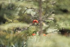 REd - gREen (Adib Roy) Tags: trees red plant flower green gardens israel place holy bahai bahji shrineofbahaullah