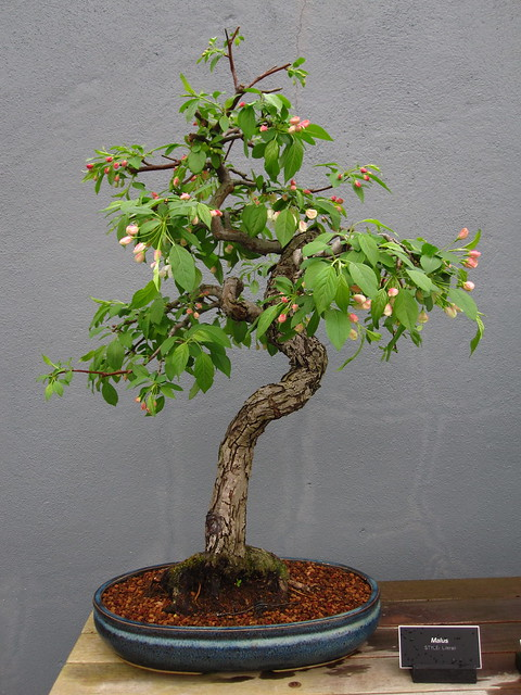 <em>Malus</em> bonsai in literati style. Photo by Rebecca Bullene.&#8221; /></a></p> <div><em>Malus</em> bonsai &#105;&#110; literati style. Photo &#98;&#121; Rebecca Bullene.</div> </div> </div> </div> </div> </div> <div> <div><img src=