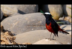 White-Capped Water-Redstart