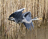 Launch (Andrew Haynes Wildlife Images) Tags: bird heron nature wildlife warwickshire brandonmarsh canon7d ajh2008