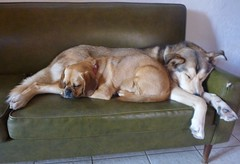 Bailey puggle and Twyla are best friends. (Mollissima!) Tags: home bailey twyla bigroom doubledog mollysdog doggylamaheadquarters halfhuskyandhalfgoldenretriever awesomepugglefriend