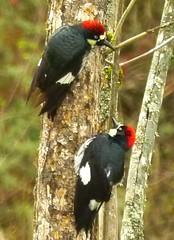 Acorn Woodpeckers (orencobirder) Tags: woodpeckers flickrexport digiscope largebirds