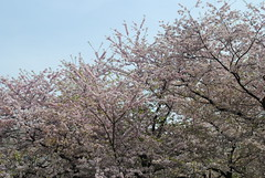 Cherry Blossom Trees