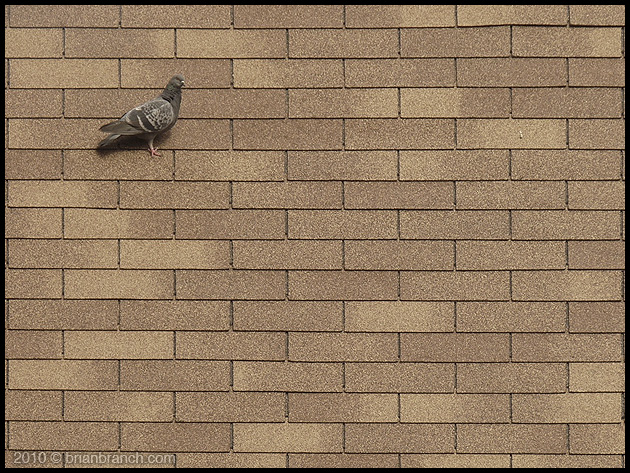 P1090288_pigeon