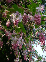 Pink Ribes