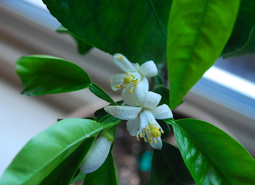 seville orange blossom