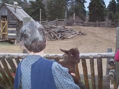 Hello! (ShearedBliss) Tags: sheep merino lamb churro