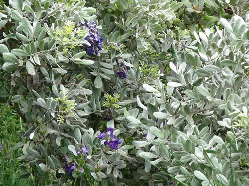 Sophora secundiflora 'Silver Peso'