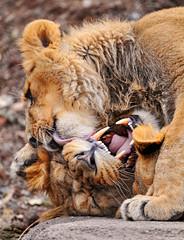 [フリー画像] [動物写真] [哺乳類] [ネコ科] [ライオン]       [フリー素材]