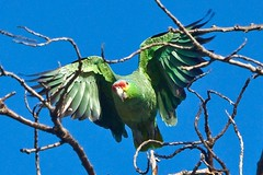 Red-Lored Parrot (Tom Nord) Tags: bird parrot redlored redloredparrot amazonaautumnalis