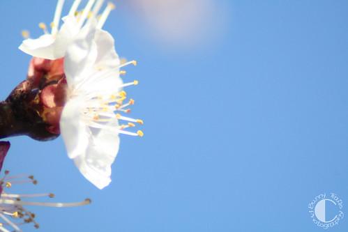103-blossom2