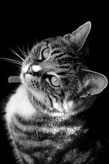 "Maisy (Dave-Mann) Tags: blackandwhite cats green cat silver fur nose paw eyes kitten kat feline chat tabby kitty whiskers gato kit kata katze mace macska cica poes kot gat claws kass koshka katt miu mačka ket meo kotka billi catta katti kiisu 18200mm kitte pisica muca ""green katinas eyes"" cat"" gorbe catua kitska kottur ""pussy nikond300s maukocka gattoneko"