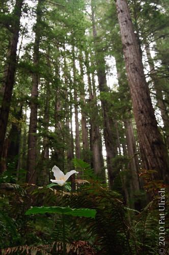 Trillium among Redwoods