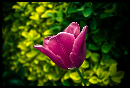 Tulipanes-3