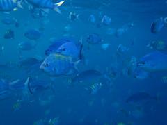 Rush hour (Banana Muffin (Antonio)) Tags: blue white coral swimming sand warm underwater crowd carribean olympus barbados snorkelling reef bridgetown fishes tough snorkle waterproof bellairs rushhours