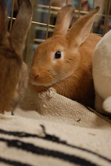 Niblet (Her Nibs) (Carly & Art) Tags: pet cute bunny dc washington md furry day baltimore adoption hrs houserabbit justlooking houserabbitsociety