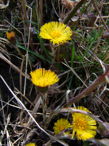 Coltsfoot (2)