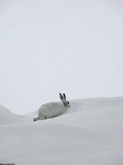 20100331_14 Mountain hare (Lepus timidus) in its winter pelage, Norway (ratexla) Tags: life winter white snow cute bunny bunnies nature beautiful animal animals norge cool europe hare earth wildlife wintercoat scandinavia biology scandinavian 2010 zoology tellus hares djur harar organism nonhumananimals whitefur takenthroughglass mountainhare whitehare lepustimidus nonhumananimal winterfur skogshare mountainhares canonpowershotsx10is winterpelage 31mar2010 ratexlasnorwaytripspring2010 skogsharar photophotospicturepicturesimageimagesfotofotonbildbilder