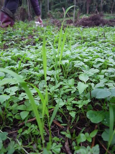 鳳林自然農田 山上旱稻 比咸豐草長得快