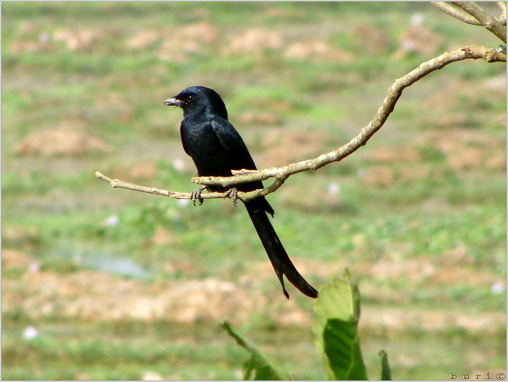 essay birds bangladesh The crow is a common bird it is found everywhere it is of many varieties related articles: essay on the peacock for school students.