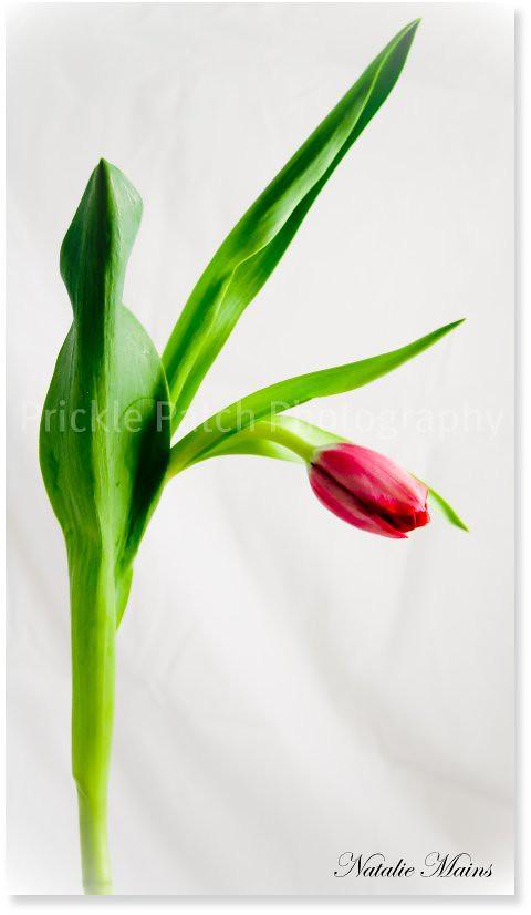 Untouched Tulip