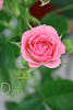 (Ms.Perfect `{Offline}) Tags: 3 green leaves rose canon photography eos one do little no like dana can u loves pinkish msperfect repel 450d focusd 37♥washere