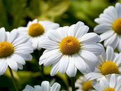 Minha flor desta quinta flores é a margarida .Por ser uma flor singela e delicada !!!! Bom dia meninas e ( os )!!!! (soniapatch) Tags: quintaflores diadefloreseamores