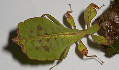 "Leaf Insect • <a style=""font-size:0.8em;"" href=""http://www.flickr.com/photos/57024565@N00/4586363383/"" target=""_blank"">View on Flickr</a>"