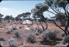 Mullamullang campsite with Richard, Don, Dianne and Rick 1965, on return from Perth. (spelio) Tags: 1964 asf trip wa travel nullarbor eyre highway n37 bluebush outback bush scrub miniminor vw campsites set grey nomad greynomad saltbush myall atriplexnummularia favs favourites favorites good atriplex nummularia plants oldmansaltbush check generalshots random date morris volkswagon 1000 fave vwaustralia vw1965beetle spelio campsite vwbeetle1965