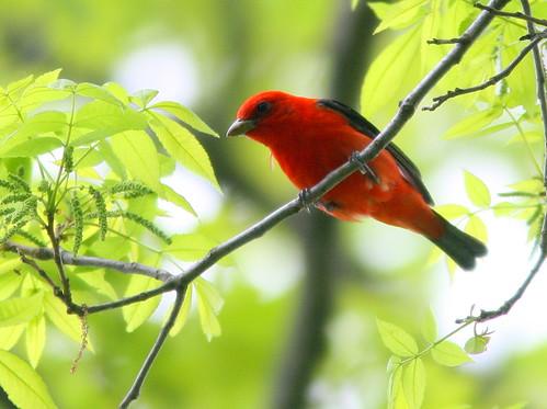 Scarlet Tanager 20100504