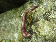 a rather large centipede in surry, NH (mikezillatron) Tags: newhampshire surry millipede diplopoda narceus spirobolida spirobolidae
