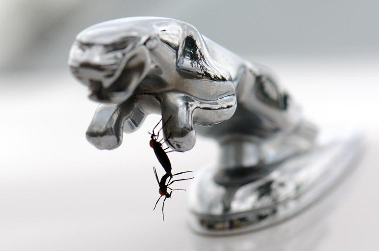 web_lovebugs_jaguarhanging_0152_2716