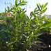 helichrysum italicum / curryplant