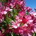 Photo: Oleander