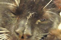 (lowlighted) Tags: cute closeup cat brinker