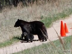 Bears in Palmer Park