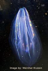 Lobed Comb Jelly, (Bolinopsis infundibulum), Ctenophore (Vern Krutein) Tags: water animal jellies jellyfish sealife carnivorous animalia invertebrate carnivores cnidaria cnidarians scyphozoa lobedcombjelly