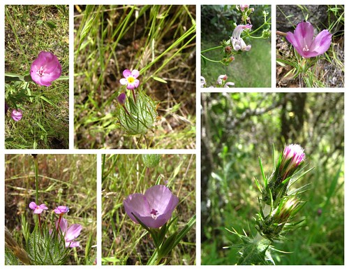 South Yuba Wildflowers - Pink