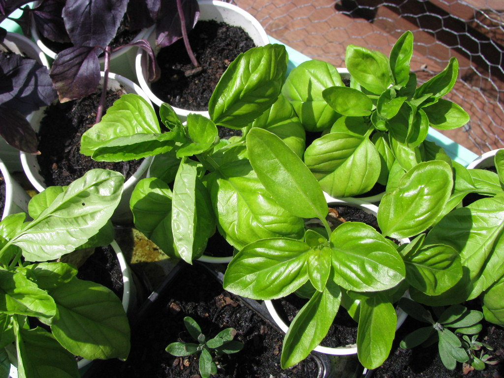 basil, ready for transplanting
