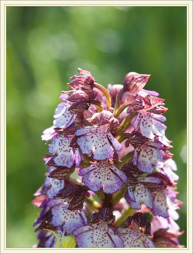 Ophrys bourdon et autres orchidées 4634986485_2b4a34eda1