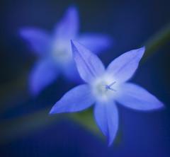 Blue Light (www.mikereidphotography.com) Tags: flowers flower color macro closeup canon garden petals colorful soft poetry dof bokeh 85mm poetic softfocus 12 f12 fastprime 85l persephones mikereid thindof