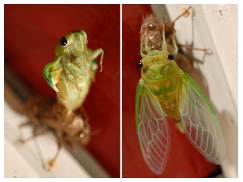 Cicada Dipdic