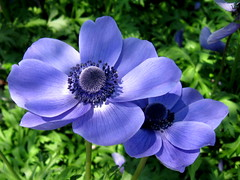 "Meet ""Mister Fokker"" (Puzzler4879) Tags: flowers gardens brooklyn ps powershot anemone pointandshoot brooklynbotanicgarden botanicgarden botanicalgardens botanicgardens canonpowershot blueflowers anemonecoronaria canondigital canonaseries floralfantasy canonpointandshoot canoncameras perfectpetals canonflowers diamondclassphotographer flickrdiamond heartawards a580 worldofflowers wonderfulworldofflowers canona580 canonpowershota580 powershota580 amazingdetails floralfantasia universeofnature unforgettableflowerscontest12 naturesprime naturescarousel mygearandme mygearandmepremium mygearandmebronze mygearandmesilver mygearandmegold mygearandmeplatinum mygearandmediamond weloveallflowers misterfokker level1photographyforrecreation level3photographyforrecreation prestigenaturecompetitionsrus level2photographyfprrecreation niceasitgets~level1"