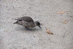 NZ duck