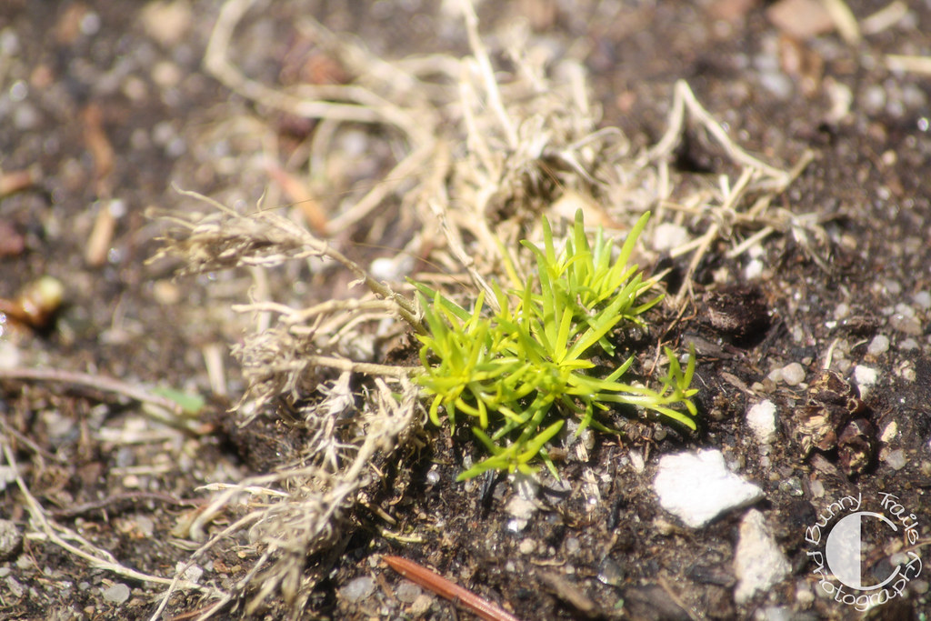 142-scotch moss1