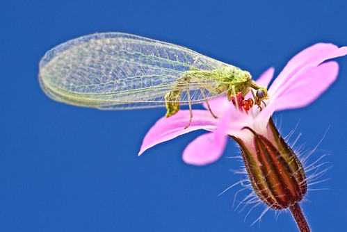 Green Lacewings on Geranium Flower