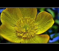 [B-cup] (I'm OK Jack (Busy building a new house)...) Tags: wild flower macro home nature beautiful yellow wonderful fantastic superb blossom awesome athome colourful bcup heavenly mothernature chilliwack detailed countrylife fraservalley blatant inmygarden iloveit sweeeeeeeeet greatphotographers awwwwwwwwwwwww cjack clubtread lx3 elkview chilliwackjack inchilliwack