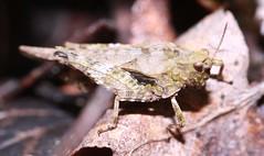 Slender ground hopper Tetrix subulata  (Tetrigidae) (BSCG (Badenoch and Strathspey Conservation Group)) Tags: acm